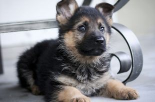 7 Facts About German Shepherd Dog