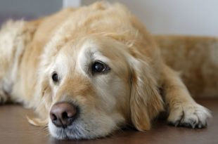 Bacterial Infection In Dogs