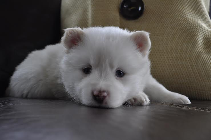 How To Train A Pomsky Puppy Perfectly Dogexpress