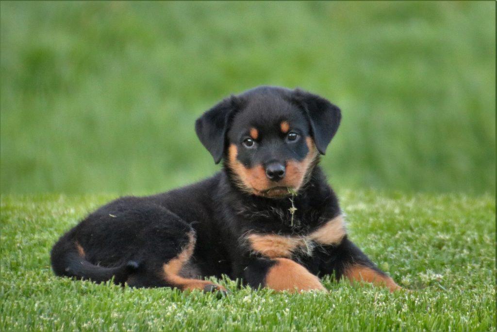 Rottweiler_Puppy