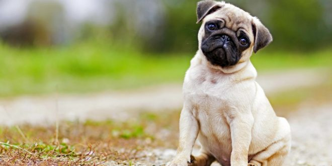 register pet dogs in 30 days or pay the fine panchkula mc dogexpress