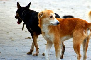 Mohali MC Plans To Increase The Dog
