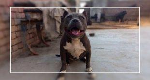 Pet dog killed in Punjab