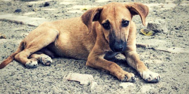 Gulgul the savior indie dog