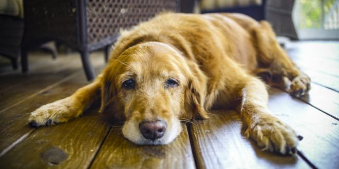 Skin cancer inn dogs