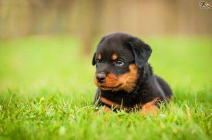 Cute-Rottweiler-Puppy-Sitting-In-Grass