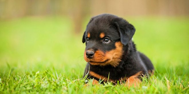 Should You Get A Rottweiler Dog In India Dogexpress