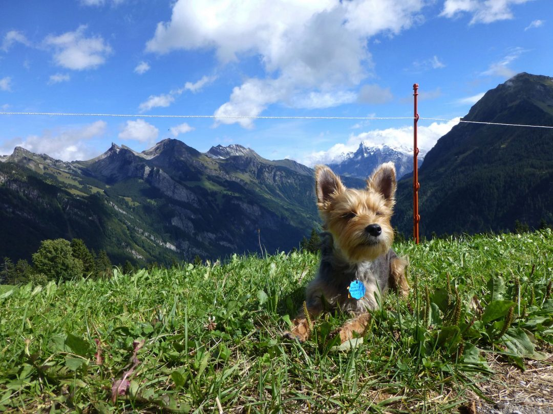 dog law in Switzerland