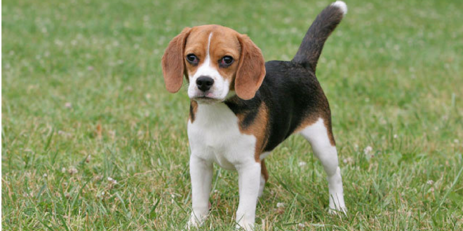 c6b253f75e A Stolen Beagle Reunited With It s Owner In Bengaluru