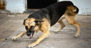 Rabies Stray Dog Bite
