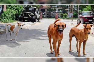 Stray dogs in Mohali