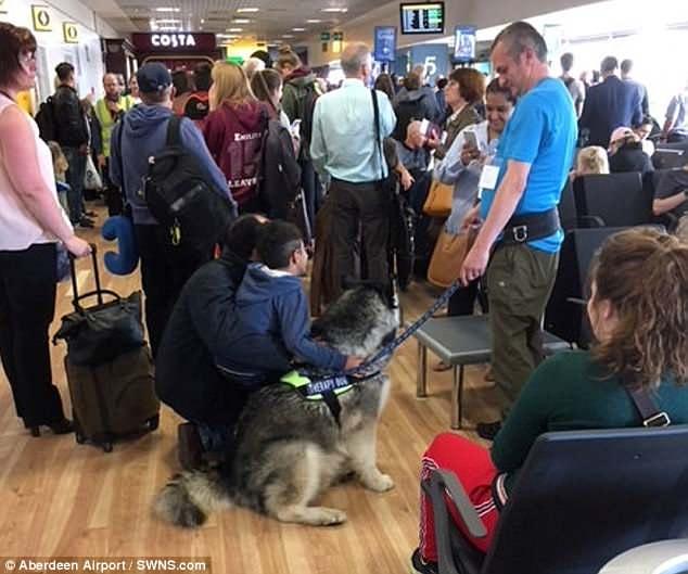 Alaskan malamute at Airport