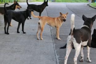 Culling of stray dog
