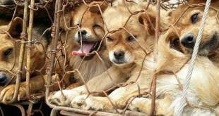 Dog Meat Consumption In Vietnam