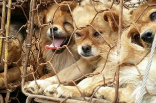 Dog Meat Consumption In Vietnam