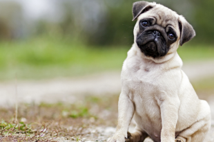 pug attacked by stray dogs