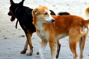 Stray dogs in Panchkula