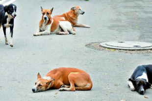 Breed of Indian dogs
