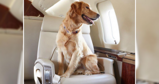 Pet dog in Indian Airline
