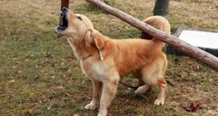 Pet dog save rape survivor