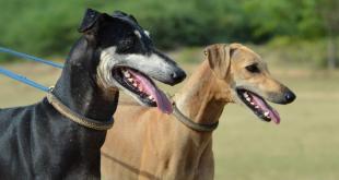 Kanni dog breed