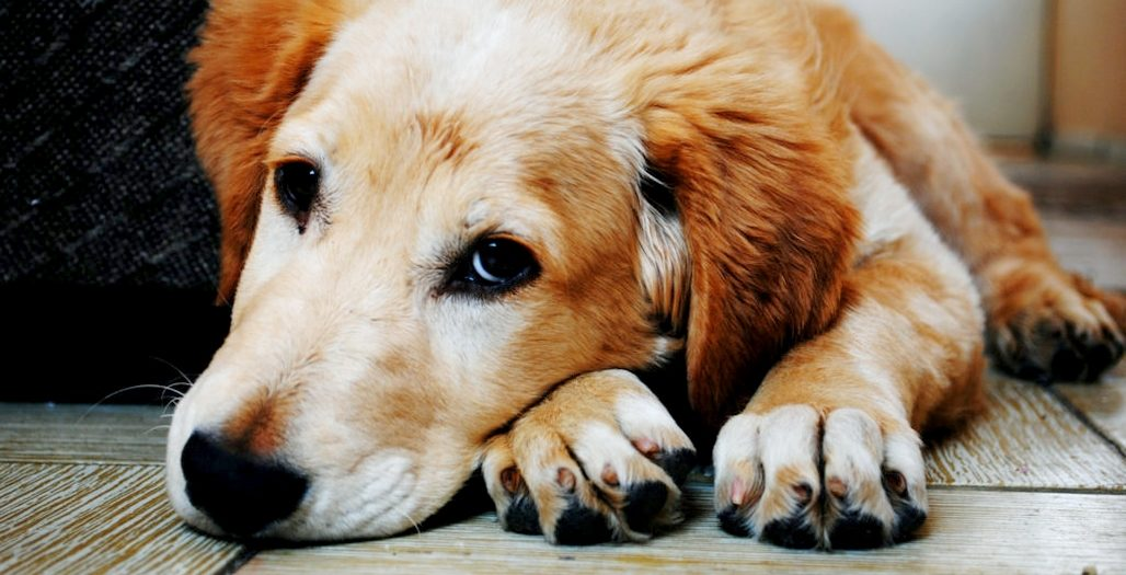 Canine distemper in dogs DogExpress.in