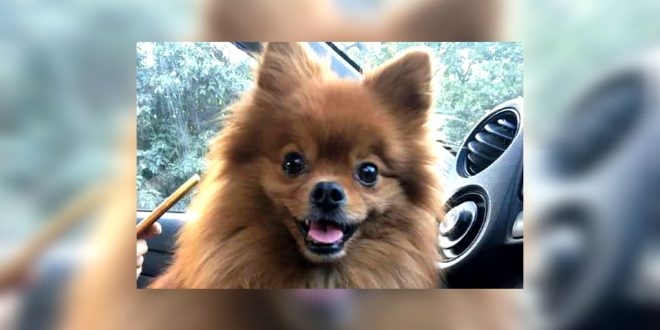 Pomeranian Dog Kidnapped From A Parked Car In Delhi Dogexpress