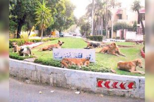 Chandigarh Stray dogs