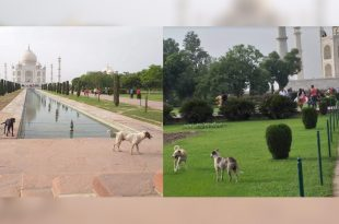 Stray dogs in Taj Mahal