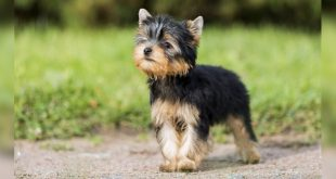 Yorkshire terrier DogExpress