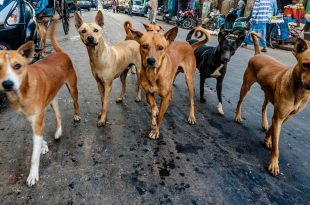 BBMP ABC programme for female stray dogs